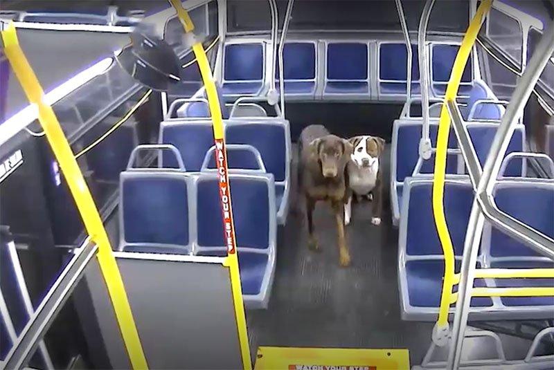 Una conductora de autobús rescató a dos perros perdidos.