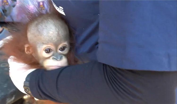 El llanto de un pequeño orangután al momento de ser rescatado.